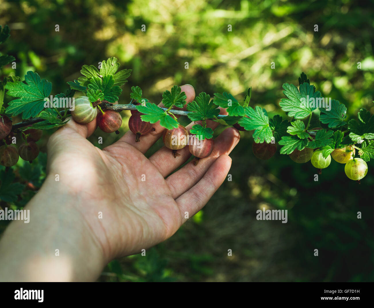 Mano d'uomo picking gooseberies maturi in giardino su soleggiate giornate estive Immagini Stock