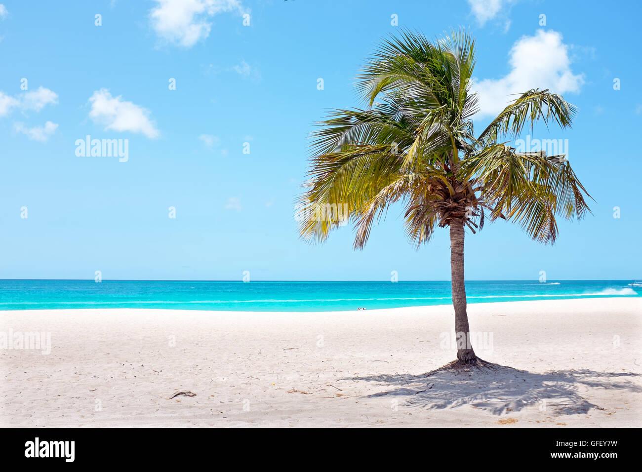 Palm Tree sulla spiaggia di Palm Beach su Aruba isola dei Caraibi Immagini Stock