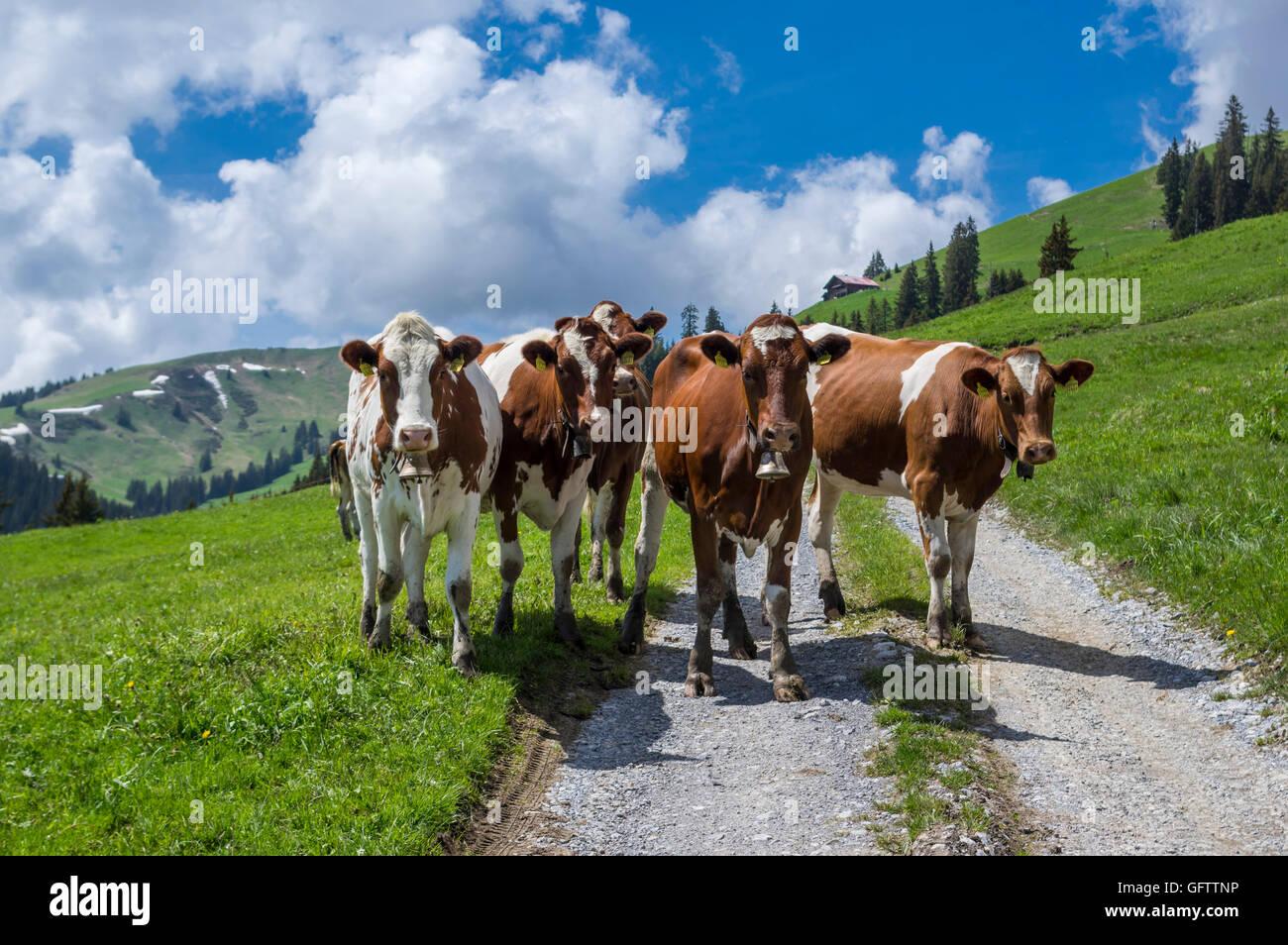 Bovini giovani bloccare una strada di montagna in Svizzera. Immagini Stock