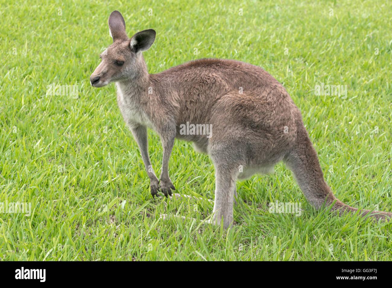 Grigio orientale canguro, Macropus giganteus, fotografato in un semi-urbana impostazione, sud del Queensland, Australia. Immagini Stock