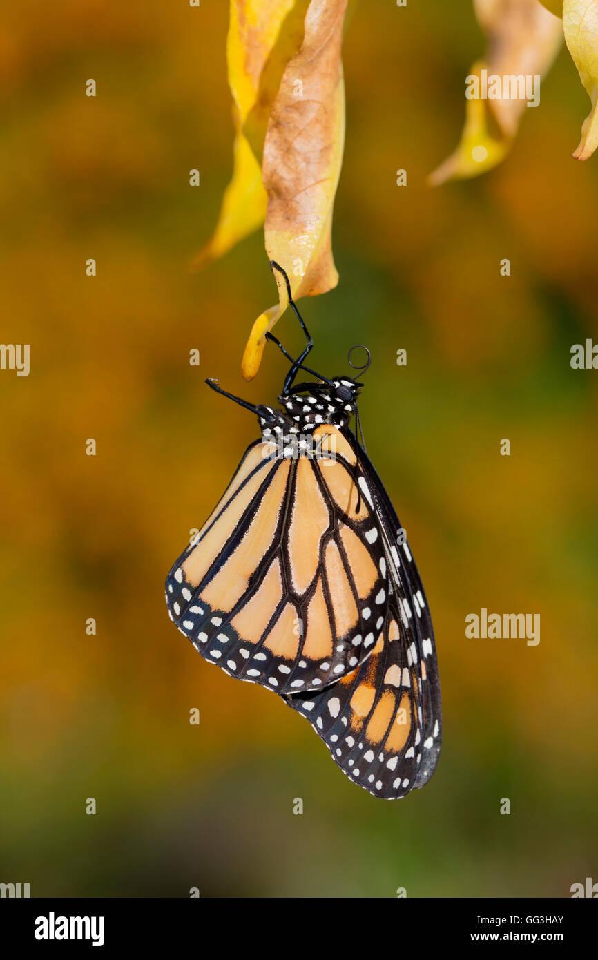 Farfalla monarca ; Danaus plexippus REGNO UNITO Immagini Stock