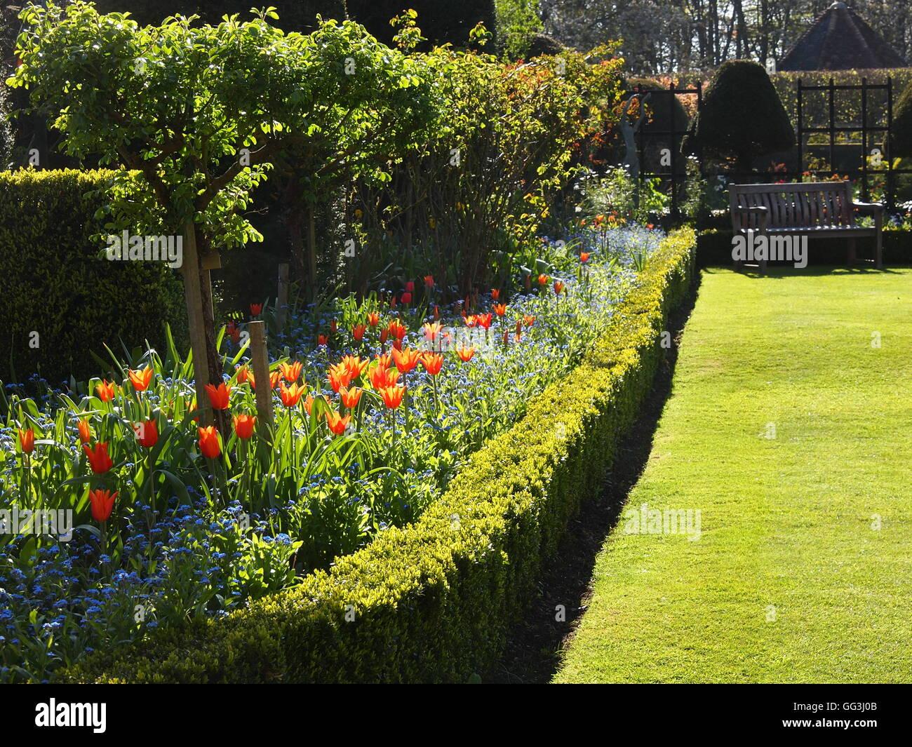 """Bella e soleggiata """"retroilluminato Ballerina' tulipani a Chenies Manor in primavera. Fiori vivaci e una scatola di copertura, prato e giardino banco. Foto Stock"""