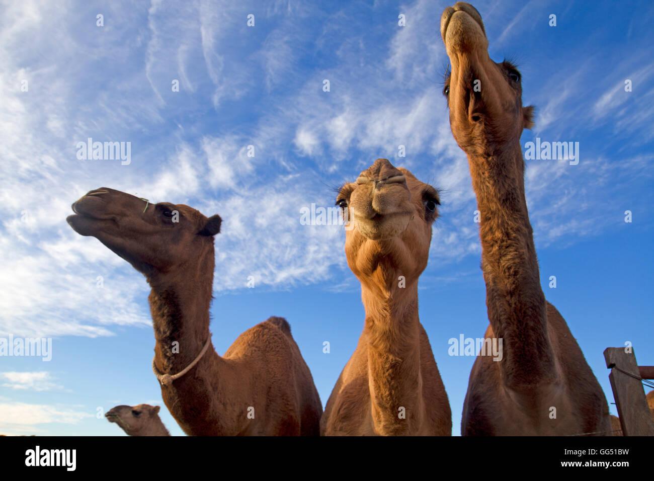 Giovani cammelli Foto Stock