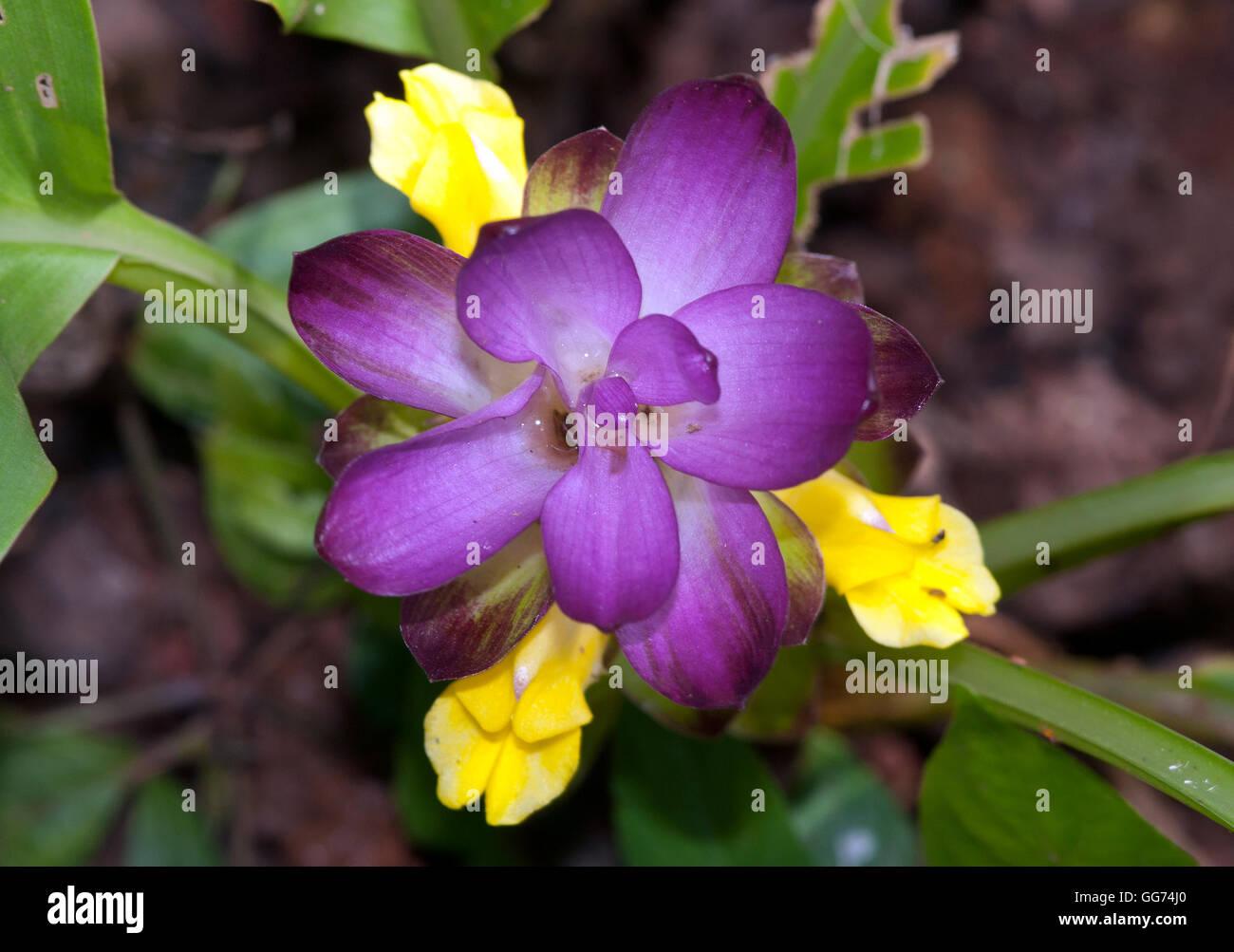 L'immagine di Wild Trumeric ( Curcuma aromatica) a matheran, India Immagini Stock