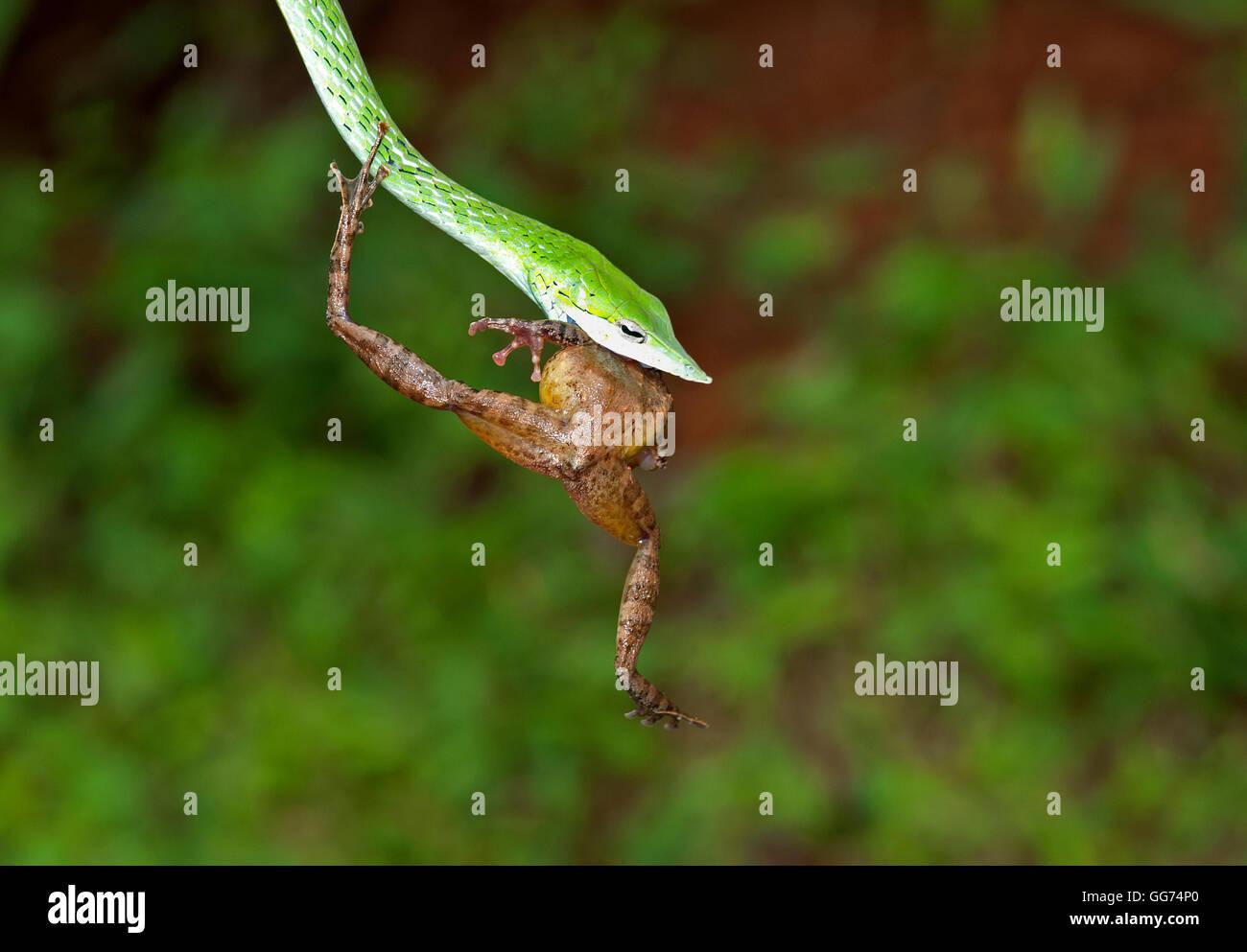 L'immagine di Green Whip Snake( Hierophis viridiflavus) con frog Kill a matheran, Mumbai, India Immagini Stock