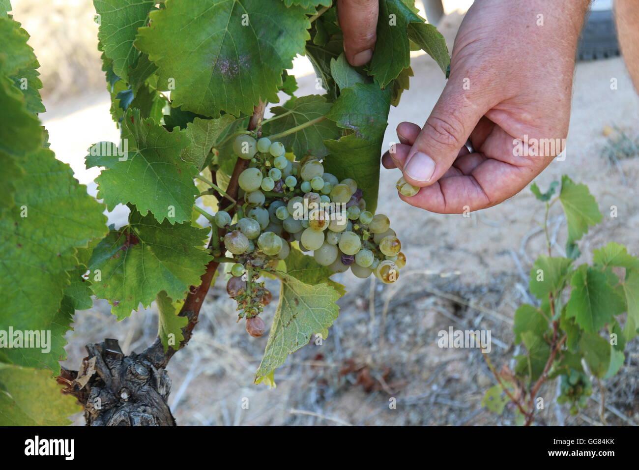 Vino bianco di uve sui vitigni di essere assaggiato a Lammershoek azienda vinicola, Malmesburry, Swartland, Sud Immagini Stock
