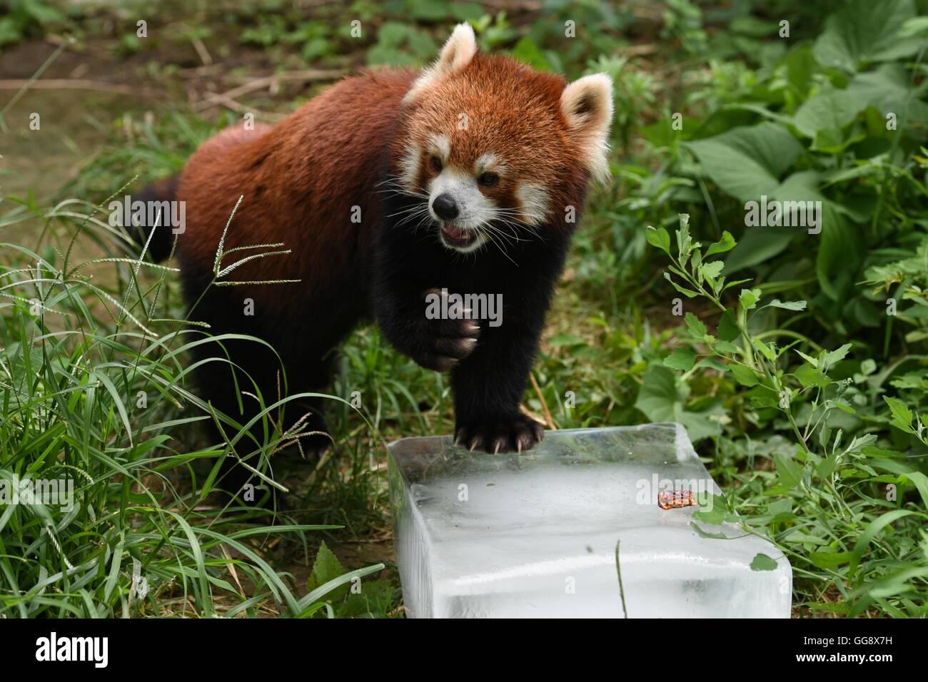 Pechino, Cina. 10 Ago, 2016. Un panda rosso poggia su un cubo di ghiaccio per alleviare il calore estivo allo zoo Immagini Stock