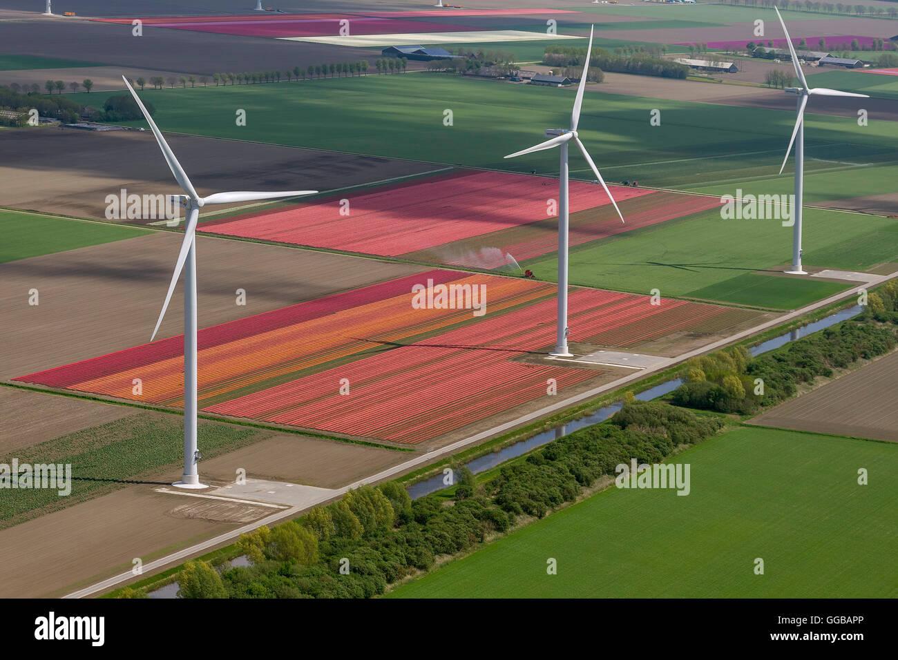 Vista aerea, turbina eolica, l'energia eolica, campi di tulipani, agricoltura, coloratissimi campi di tulipani, Immagini Stock
