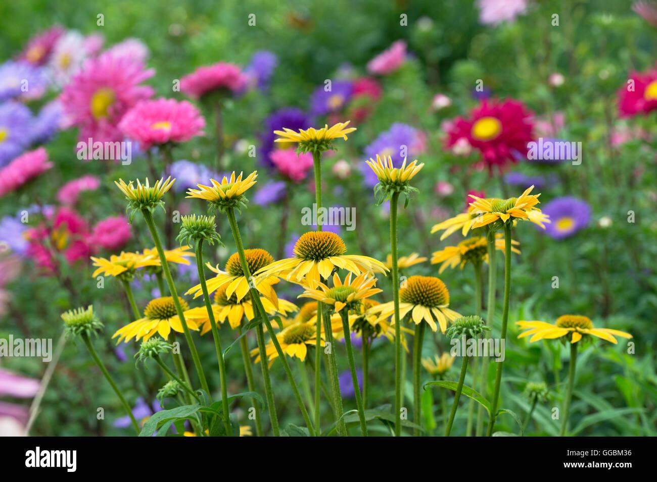 Mazzo Di Fiori Gigante.Echinacea Hybrida Cheyenne Spirito Coneflowers Nella Parte