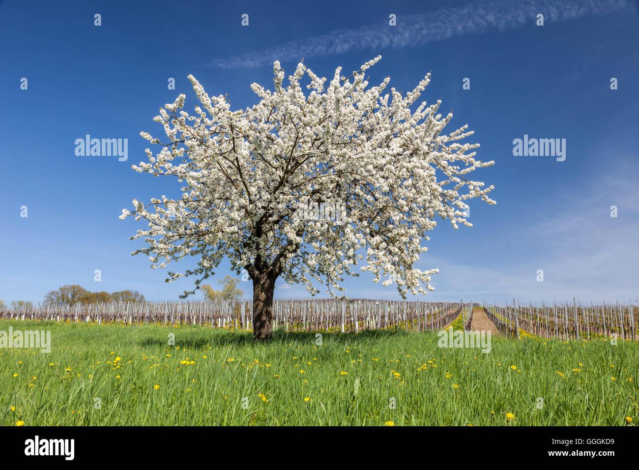 Geografia / viaggi, Germania, Saarland, Fioritura di ciliegio in vicinanza del castello di Perl, Saarland, Additional Immagini Stock