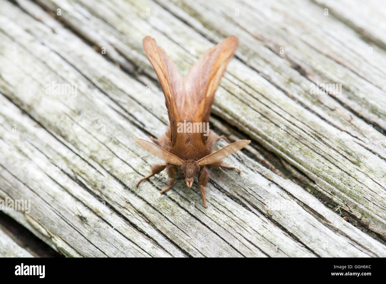 Bevitore tarma (Philudoria potatoria) adulto imago Immagini Stock