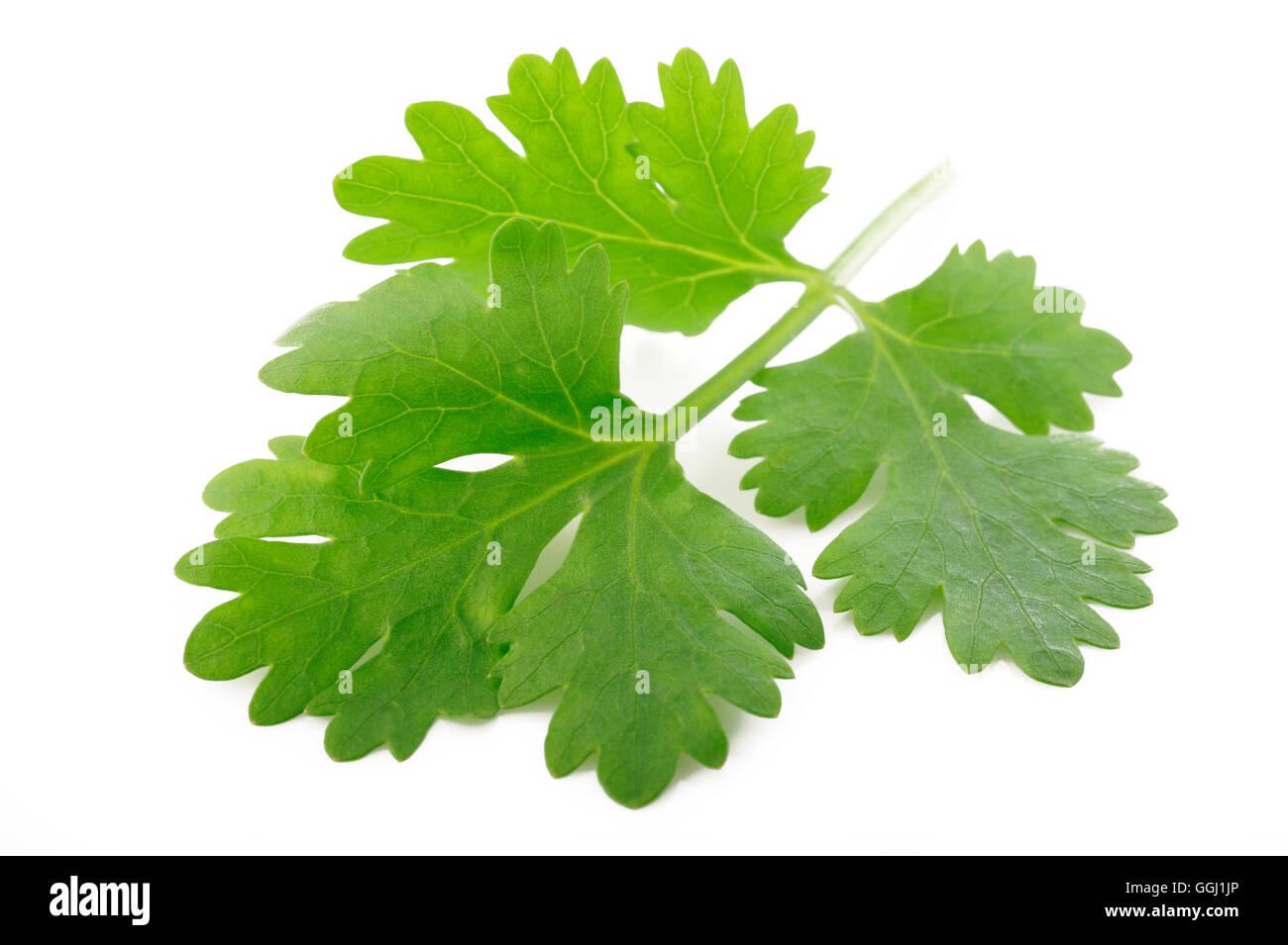 Il coriandolo fresco foglie isolati su sfondo bianco Immagini Stock