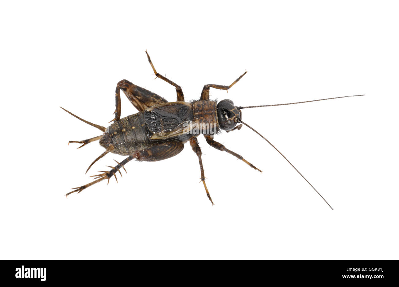 Legno Cricket - Nemobius sylvestris - maschio Immagini Stock