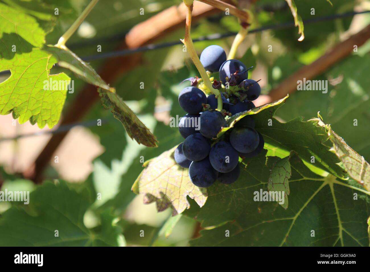 Vino rosso Uva su un vitigno a Dalwhinnie Vini, Pirenei, Australia Immagini Stock