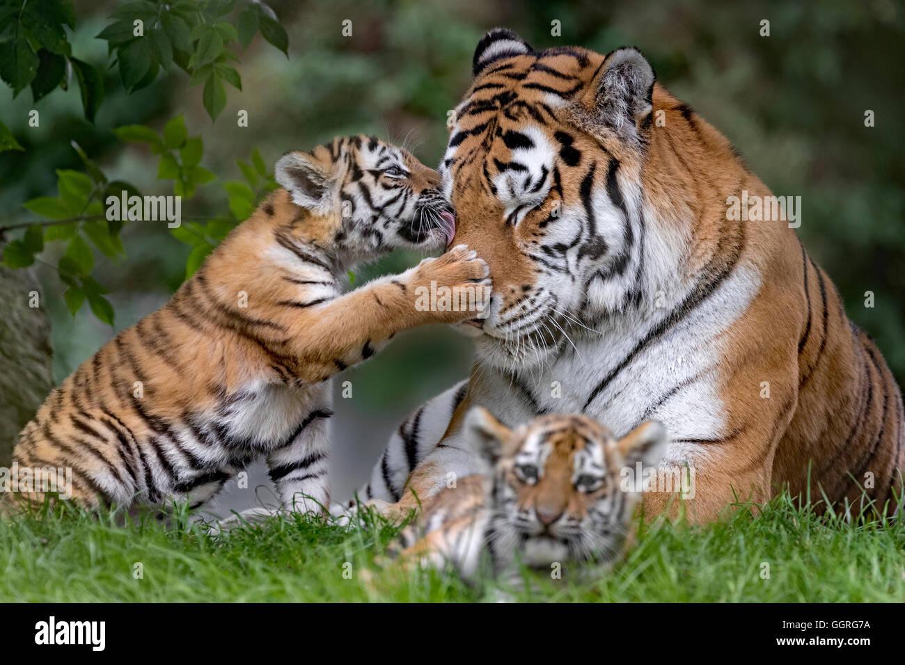 Amur cuccioli di tigre, 11 settimane Immagini Stock