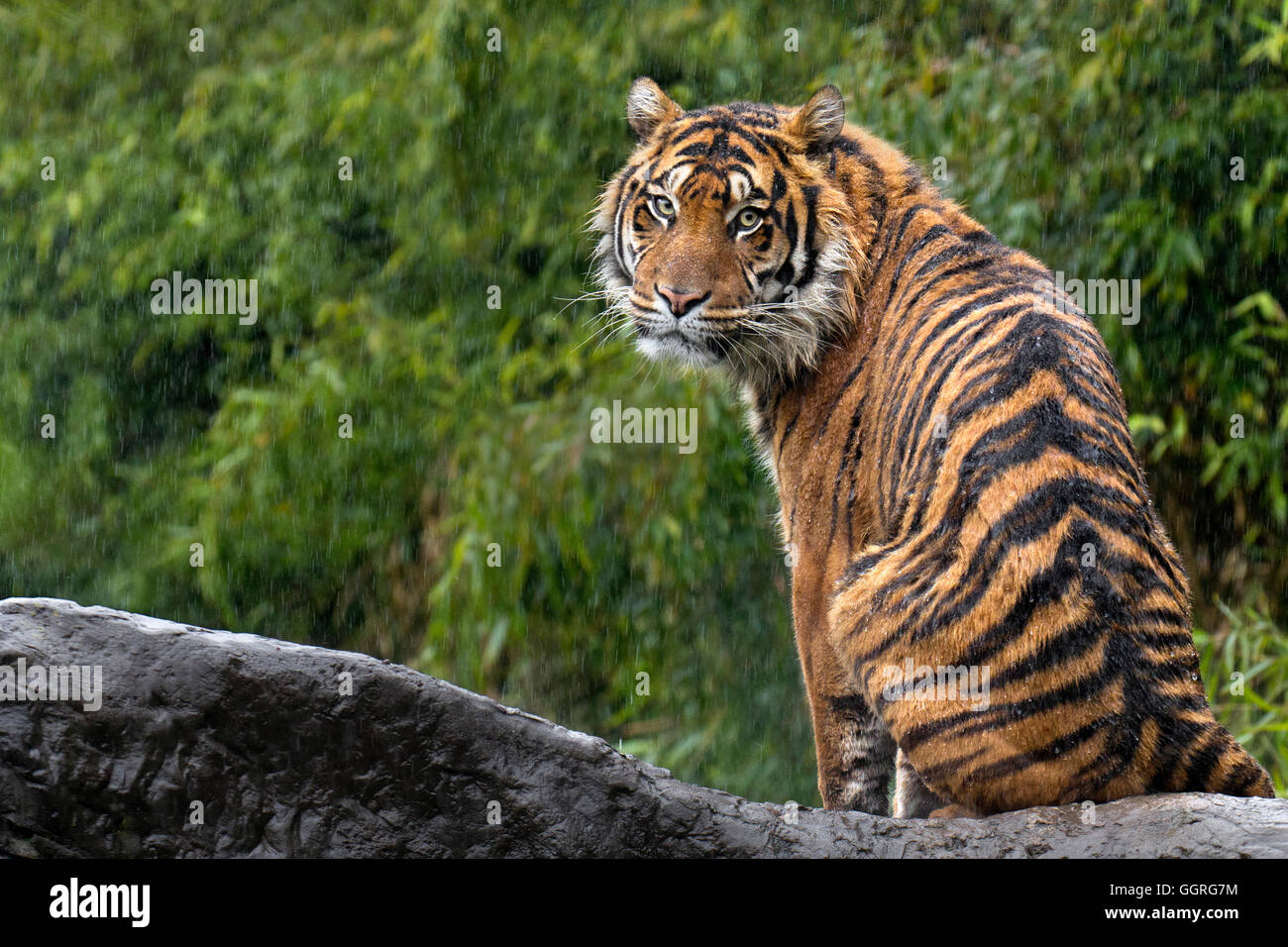 La tigre di Sumatra sotto la pioggia Immagini Stock
