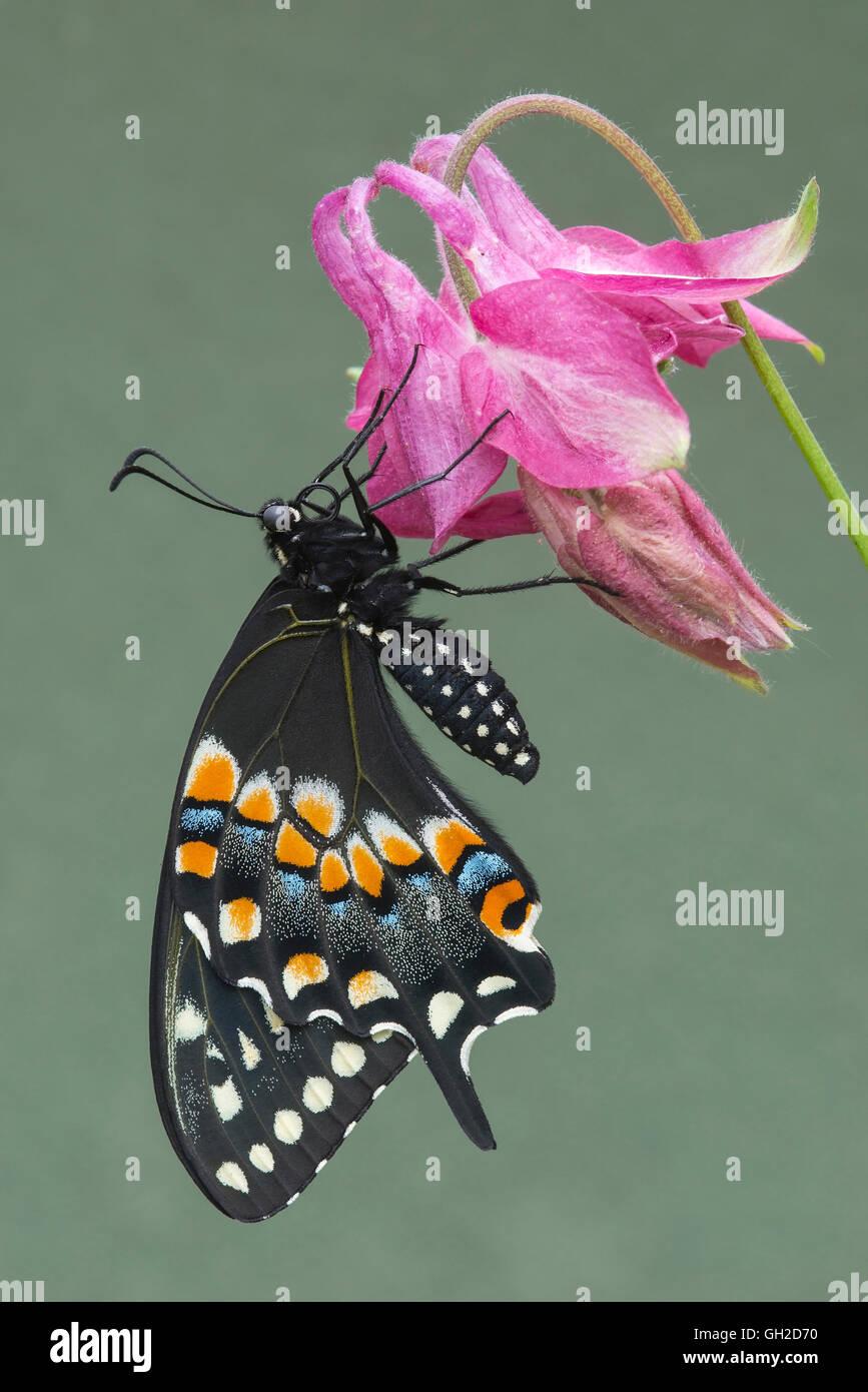 E Nero a coda di rondine (Farfalla Papilio polyxenes) nectaring giardino varietà di aquilegia alpina, Nord Immagini Stock