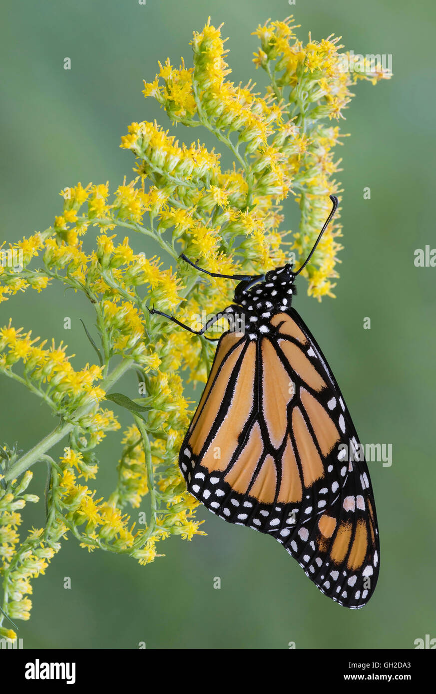 Farfalla monarca (Danaus plexippus) su oro (Solidago sps), fine estate, inizio autunno, E STATI UNITI D'AMERICA, Immagini Stock