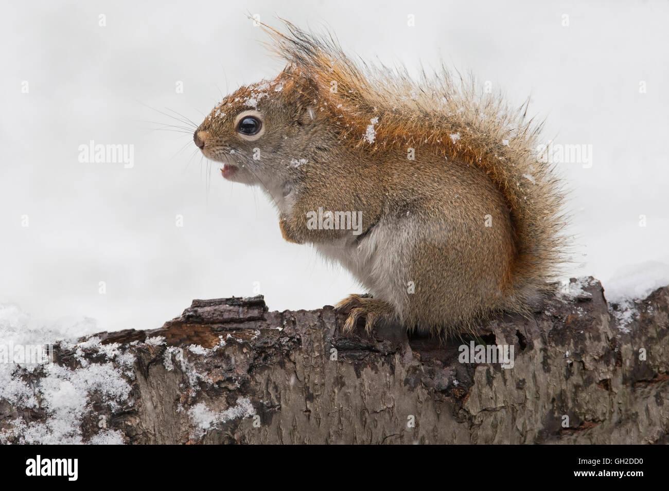 Eastern scoiattolo rosso a caccia di cibo (Tamiasciurus o Sciurus hudsonicus), inverno, e l'America del Nord Immagini Stock