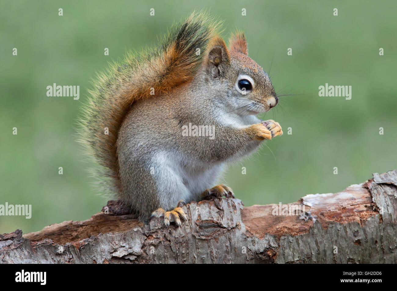 Eastern scoiattolo rosso di mangiare i dadi (Tamiasciurus o Sciurus hudsonicus), all'inizio della primavera, Immagini Stock