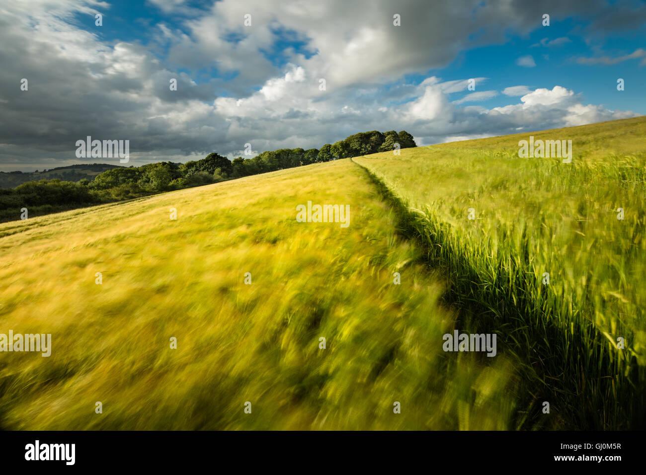 Un campo di orzo vicino Cerne Abbas, Dorset, Inghilterra Immagini Stock