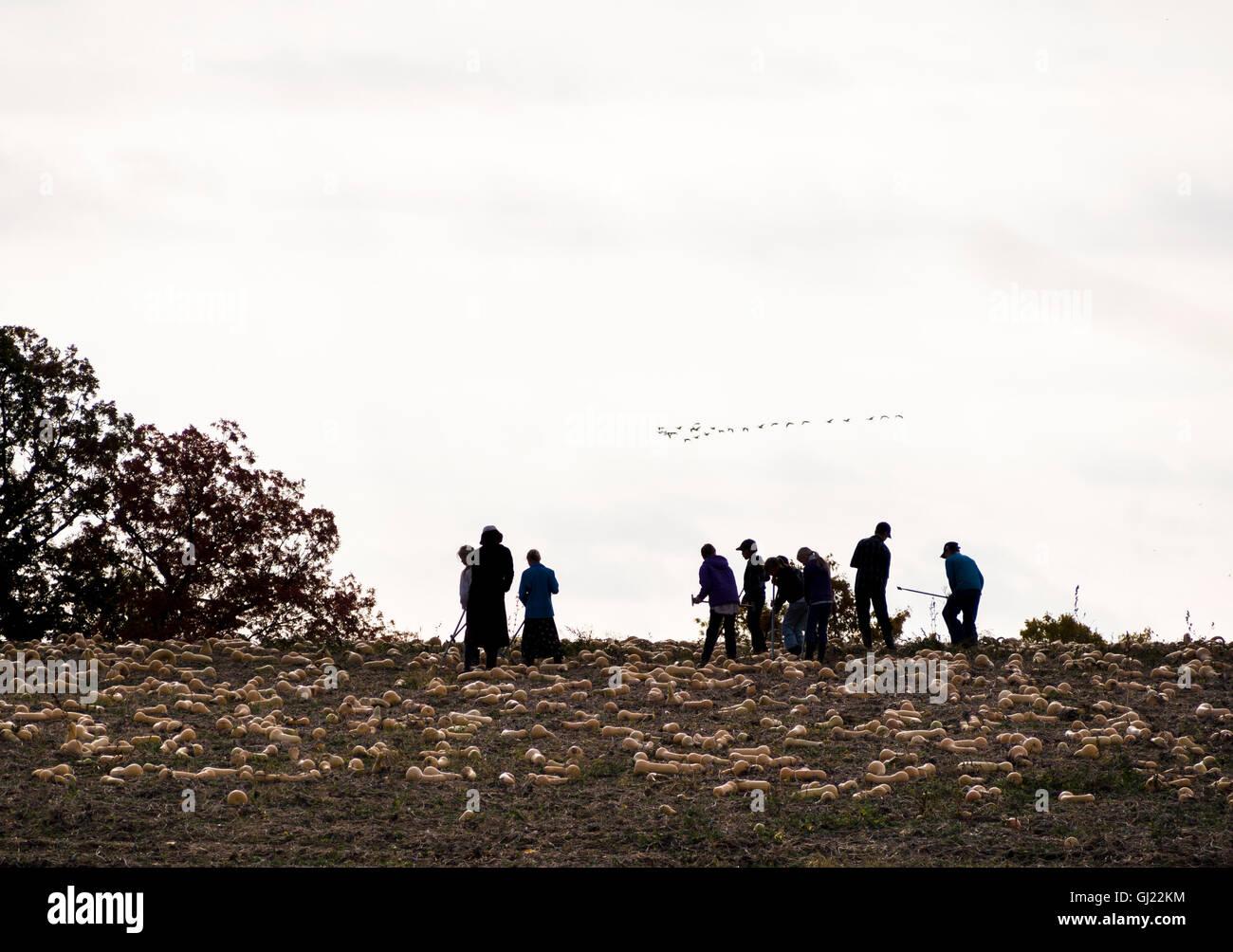 La raccolta di zucca. Un gruppo di lavoratori harvest zucca da un campo. Un branco di oche overhead di mosche. Immagini Stock