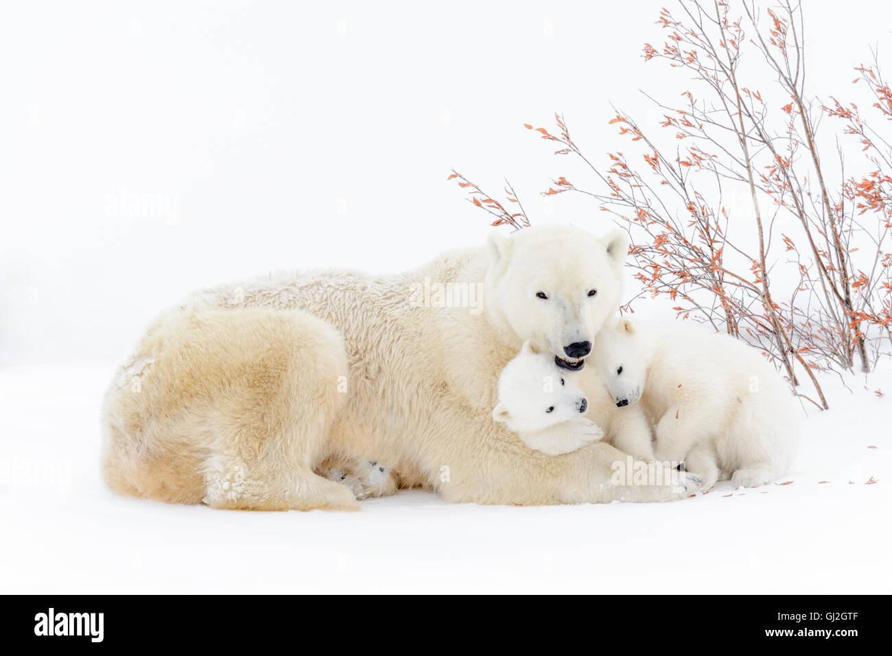 Orso polare madre (Ursus maritimus) disteso con due cani giocando, Wapusk National Park, Manitoba, Canada Immagini Stock