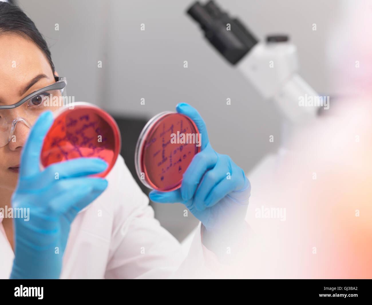 Scienziato esaminando colture microbiologiche in una capsula di petri Immagini Stock