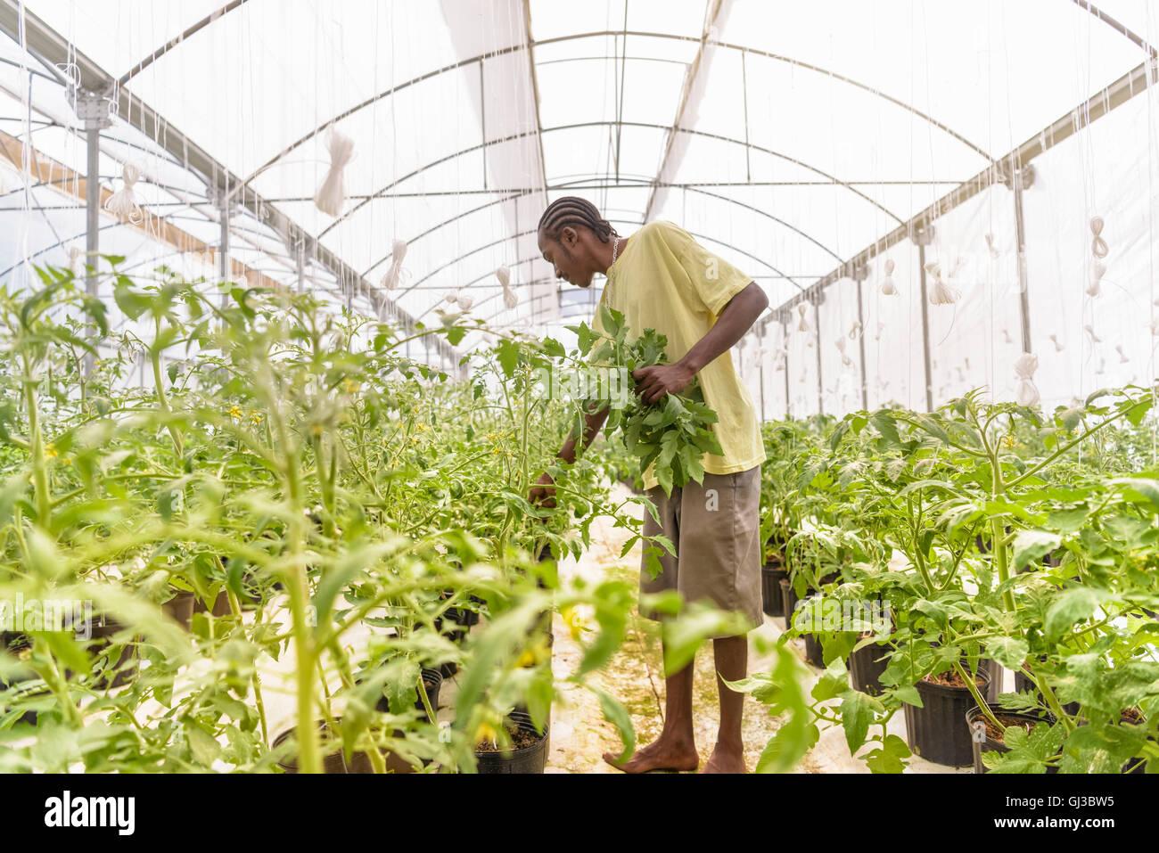 Lavoratore la rimozione di piante di pomodoro germogli laterali in fattoria idroponica in Nevis, West Indies Immagini Stock