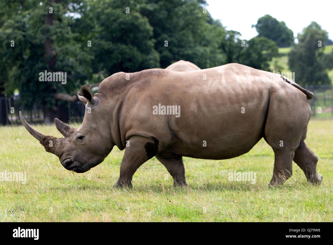 Southern White Rhino rhinoceros famiglia Ceratotherium simum simum at Woburn Safari Park a Woburn, Bedfordshire, Immagini Stock