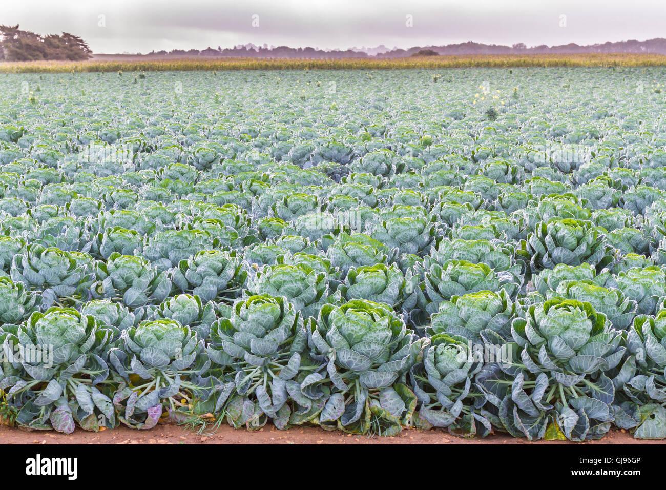 Pianta Cavolini Di Bruxelles campo di cavoli di bruxelles piante (brassica oleracea