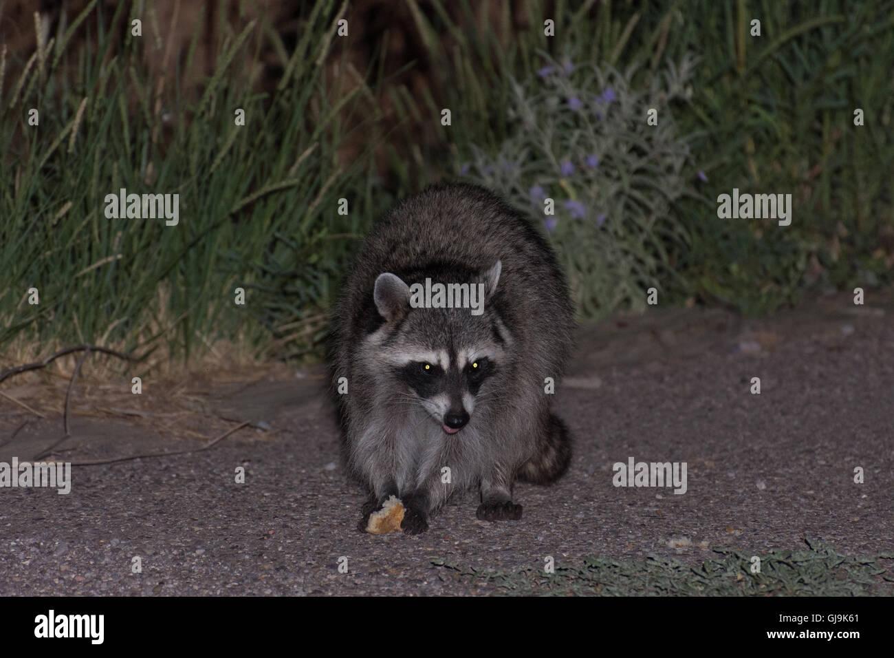 Procione, (Procione lotor), mangiare cestino. Elephant Butte parco dello stato, nuovo Messico, Stati Uniti d'America. Immagini Stock