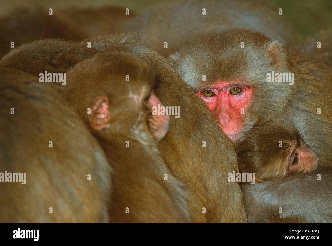 Macaco Rhesus, macaca mulatta, maschio raggomitolati insieme con truppe per mantenere in caldo, Rajasthan, India Immagini Stock