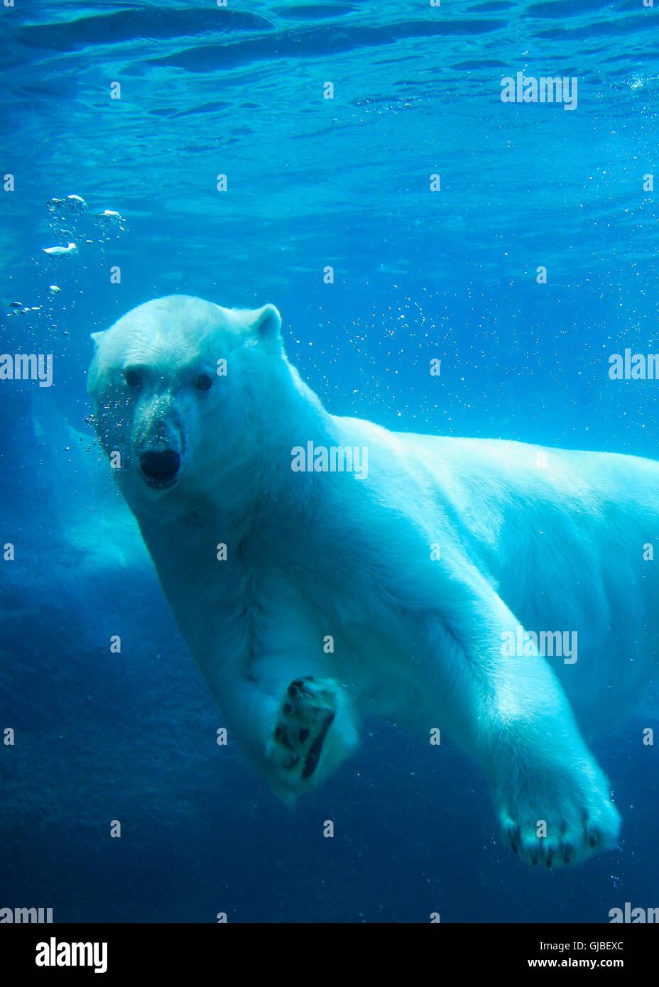 Orso polare nuoto sott'acqua Immagini Stock
