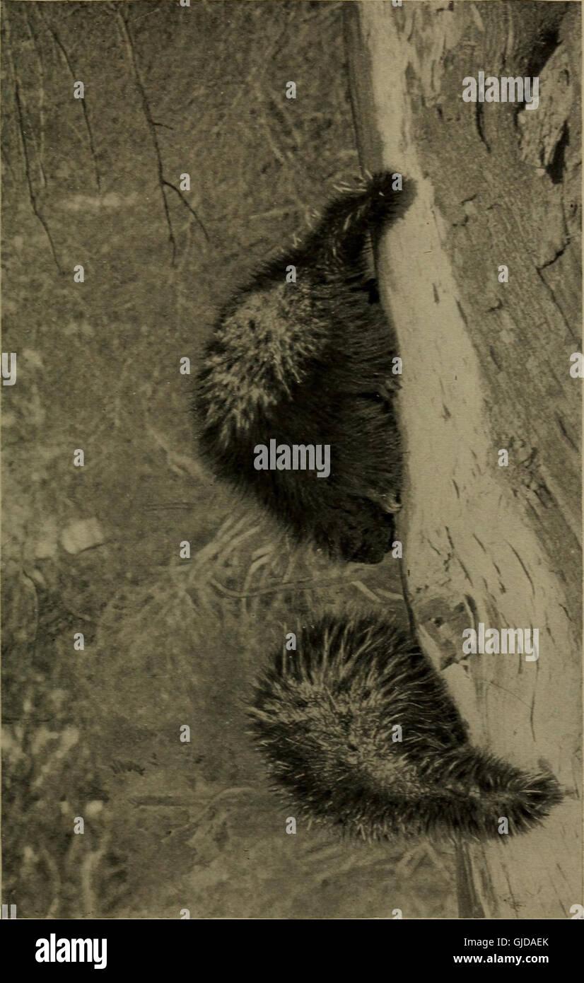 La vita familiare in campo e del bosco; gli animali, uccelli, rane e salamandre (1898) Foto Stock