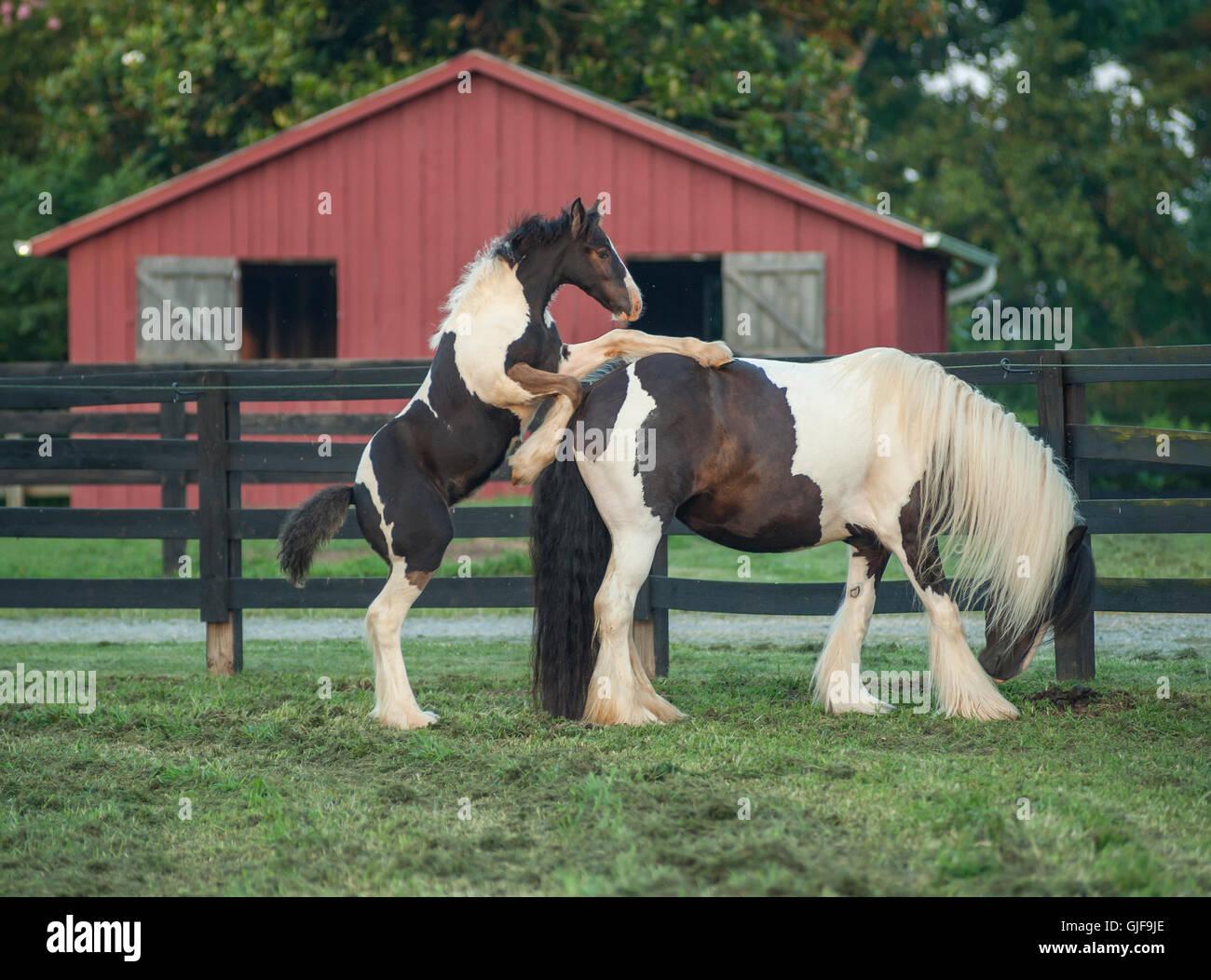 Gypsy Vanner cavallo mare e puledro Immagini Stock