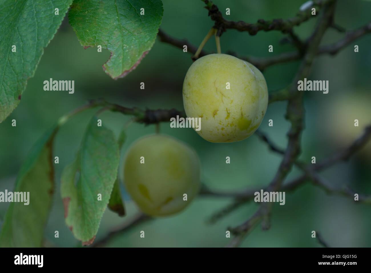 Un maturo prugna noto come un Oullins Gage appeso a un albero pronto per il raccolto. Immagini Stock