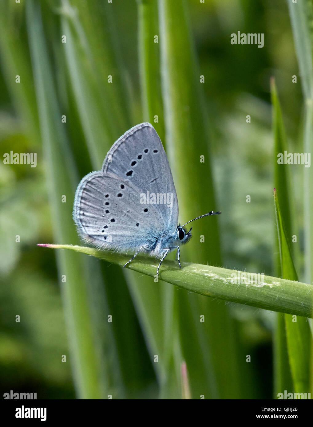 Piccolo blue butterfly arroccato su erba. howell hill riserva naturale, Ewell, Surrey, Inghilterra. Immagini Stock