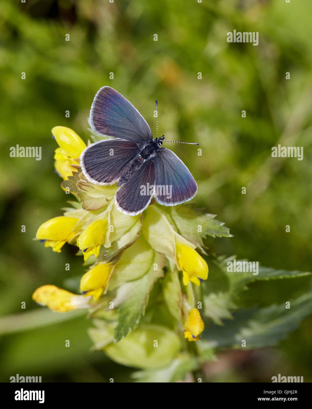 Piccole farfalle blu su giallo-rattle fiori. Warren Farm, Ewell, Surrey, Inghilterra. Immagini Stock