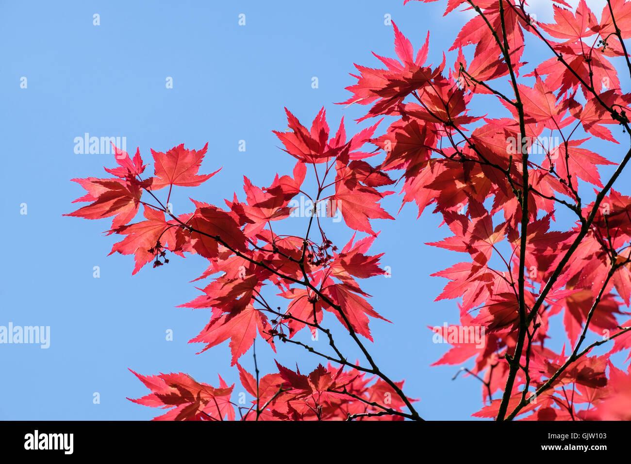 Acero Blu Giapponese retroilluminato acero giapponese (acer palmatum) fogliame