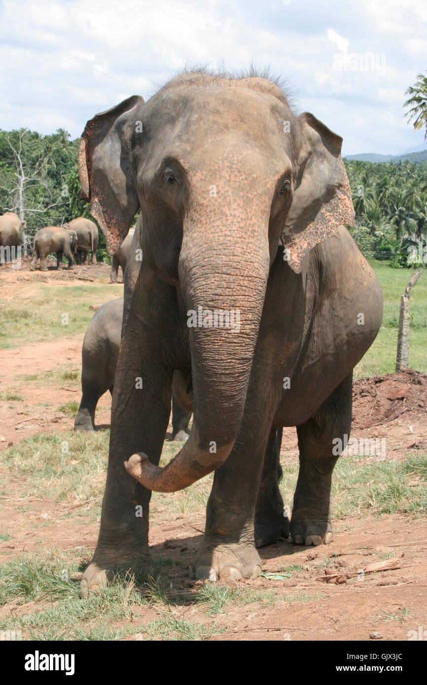 Elephant quotasiatischer elefantquot dickhauter Immagini Stock