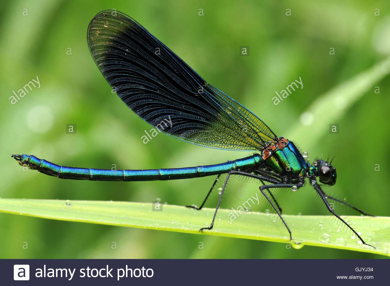 Maschio a forma di libellula maschile Immagini Stock