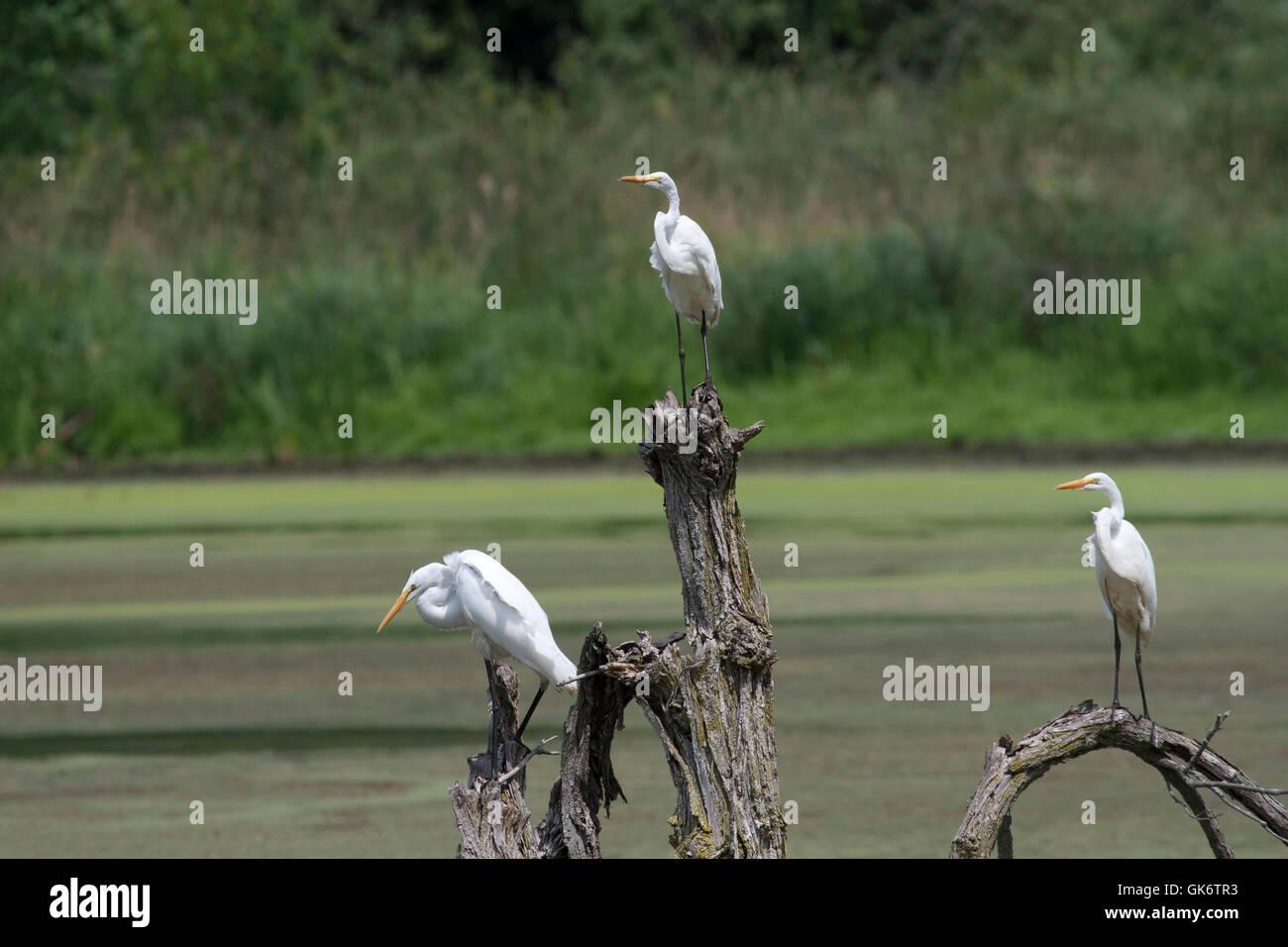 Trio di grandi aironi bianchi posatoi sul ceppo di albero in stagno Immagini Stock