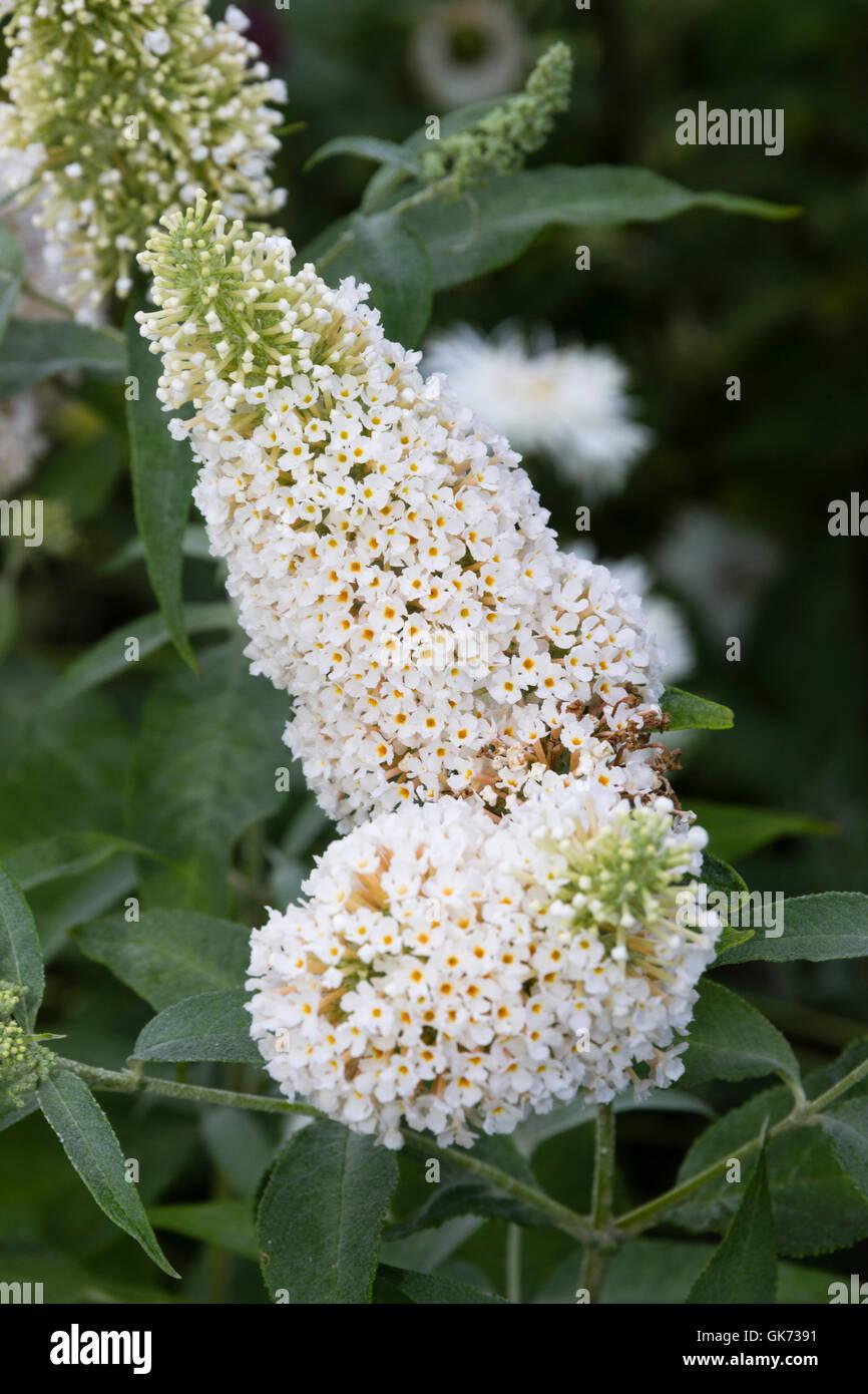"""Al profumo di fiori bianchi del compact butterfly bush, Buddleja davidii """"Buzz Ivory"""" Immagini Stock"""