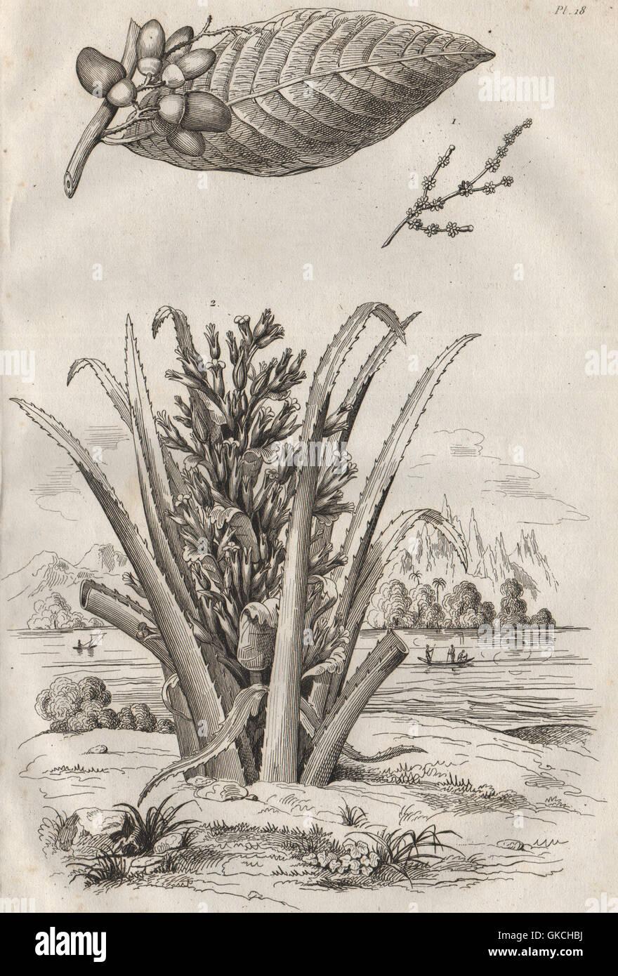 Piante: Anacardier (anacardi). Ananas Sauvage. Ananas, antica stampa 1834 Immagini Stock