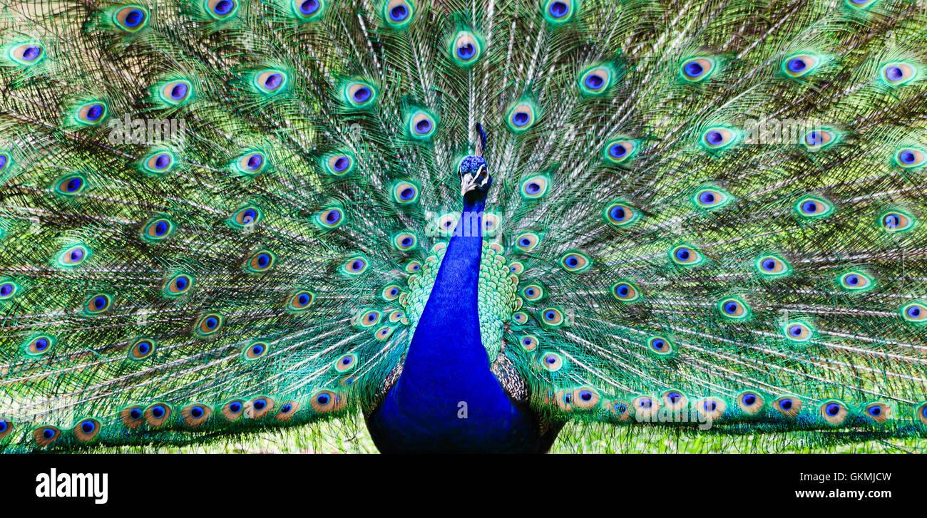 Colorato uccello pavone con ampia coda aperta piena di piume a lungo in piedi su un prato verde. Immagini Stock