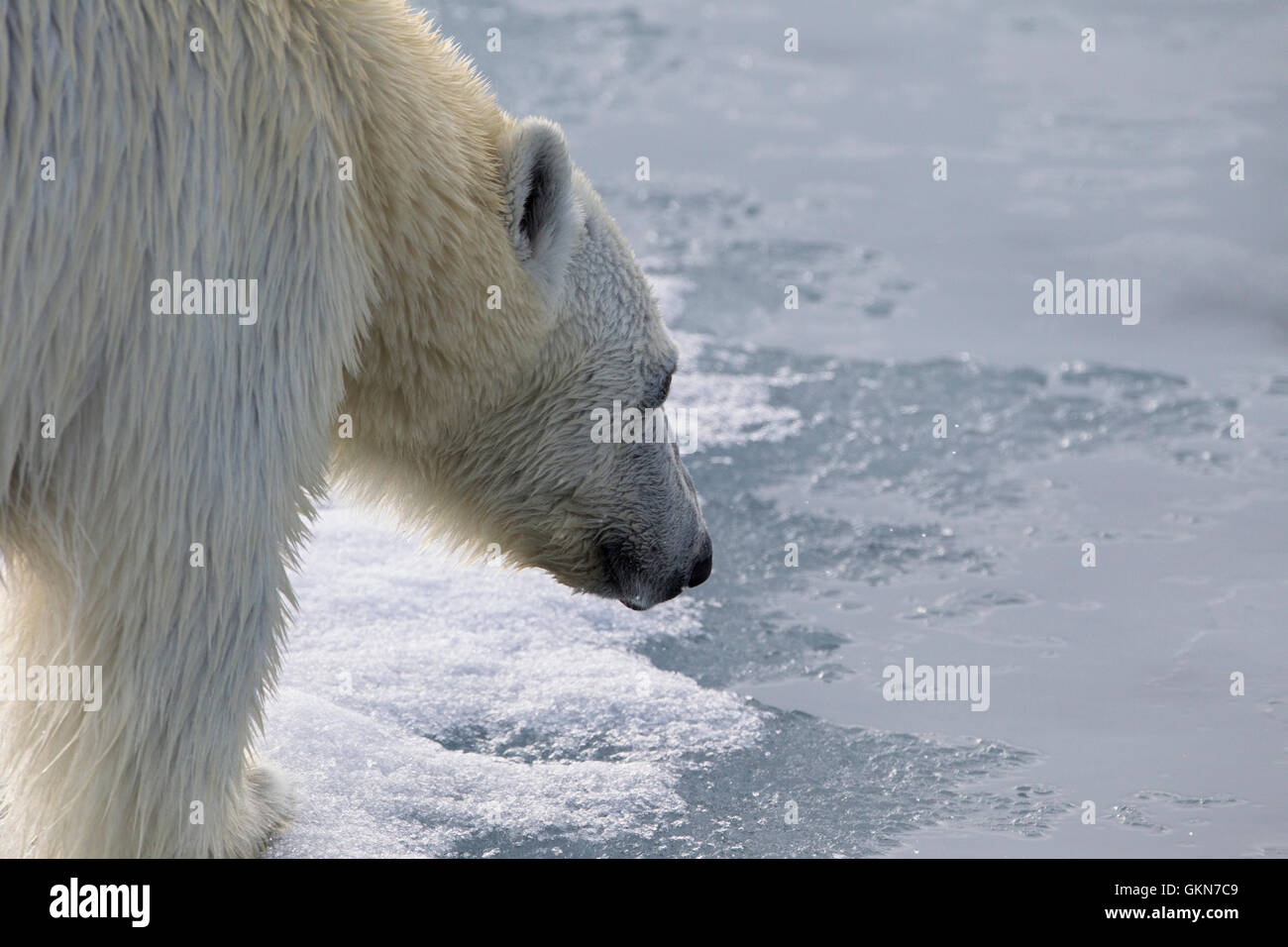 Faccia di orso polare in stretta fino Immagini Stock