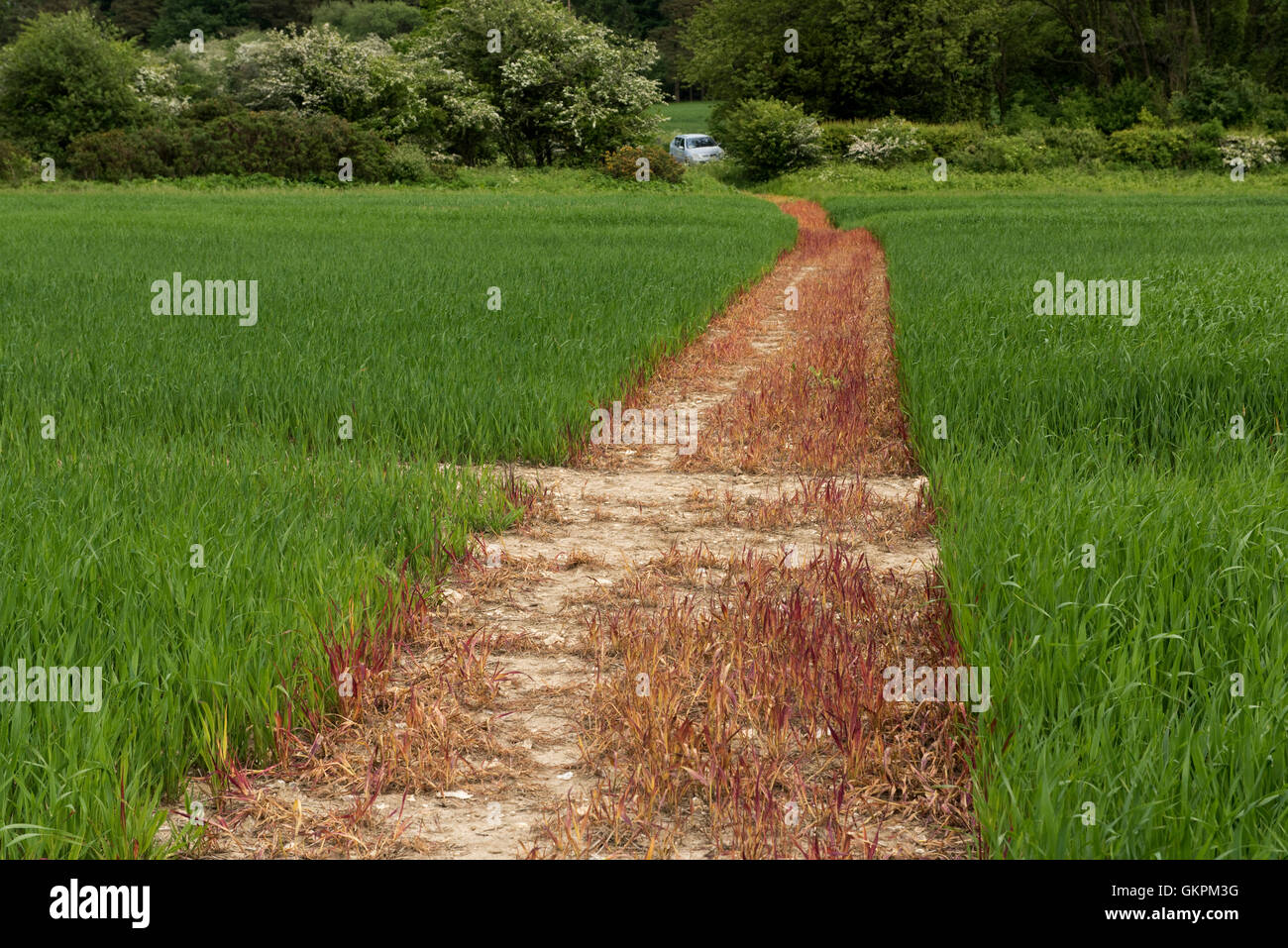 Un sentiero spruzzato fuori con il glifosato e tagliare attraverso un raccolto di giovani di avena, Giugno, Berkshire Immagini Stock