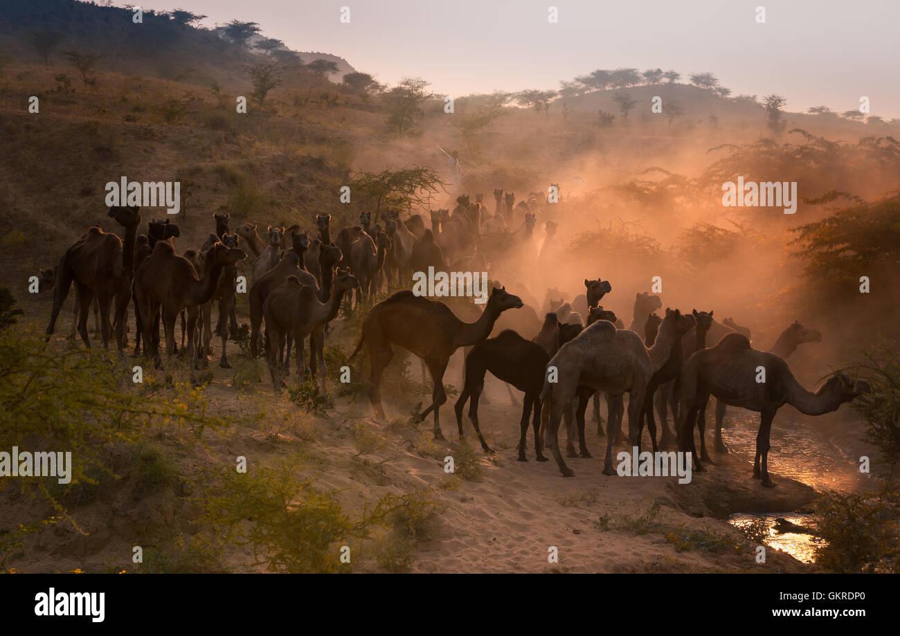 Cammelli sul modo di Pushkar Mela al tramonto, Pushkar Camel Fair, Rajasthan, India Immagini Stock