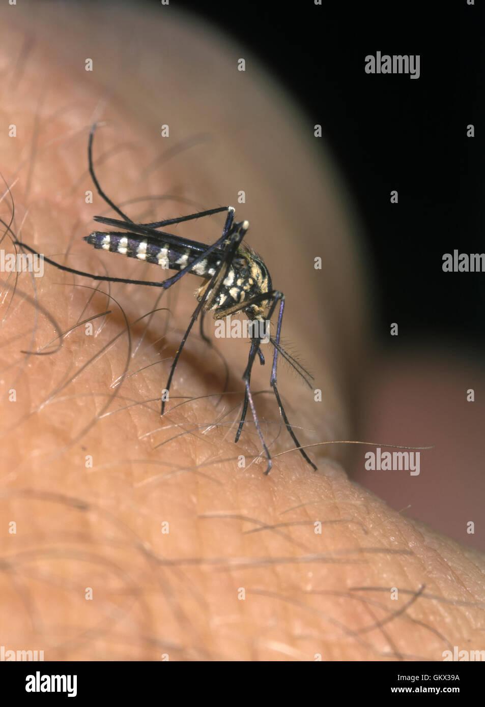 Zanzara Aedes sp. Femmina di succhiare il sangue dalla pelle umana. Il Portogallo. Immagini Stock